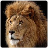 Lion wallpaper HD icon