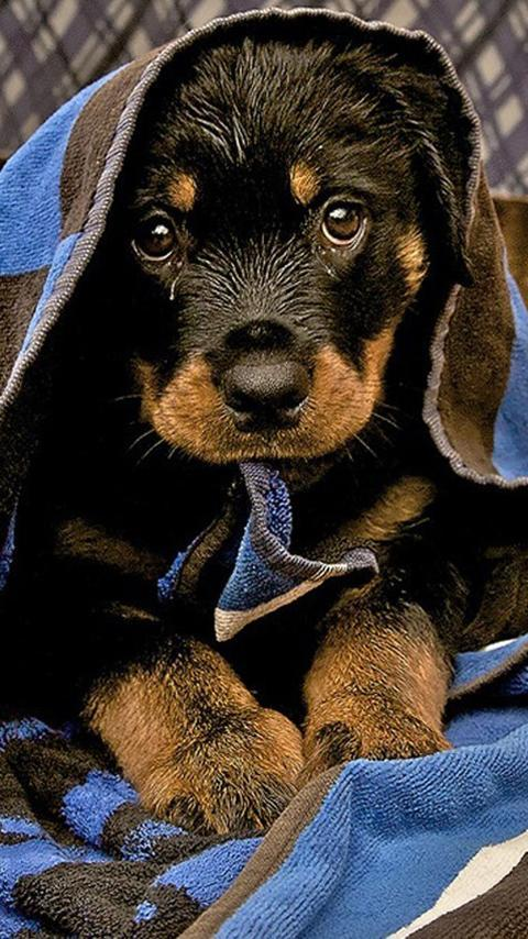 Rottweiler Wallpapers Hd Free For Android Apk Download