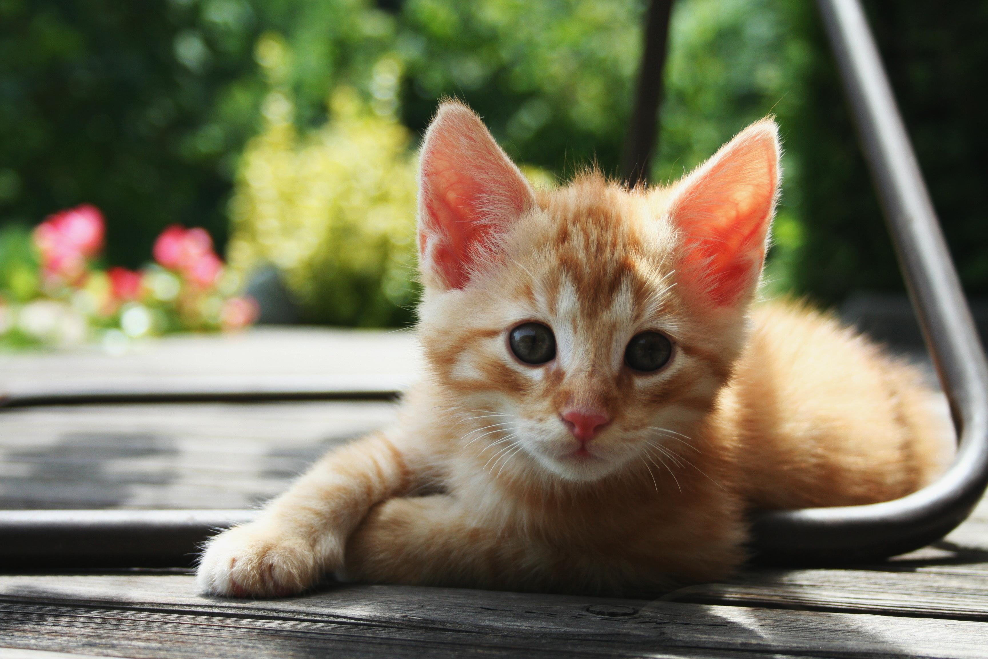 Cute Kitten Hd Wallpaper For Android Apk Download