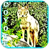 Wild Coyote Sounds icon