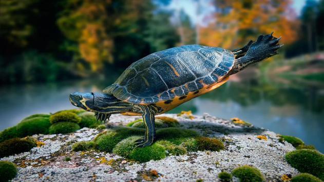 Turtle Wallpapers apk screenshot