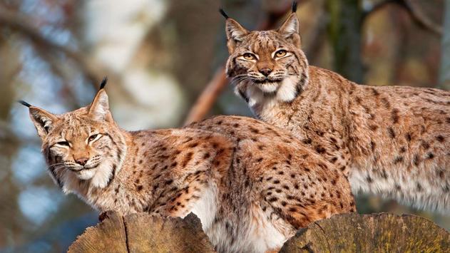 Lynx Wallpapers apk screenshot