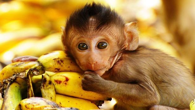 Monkey Wallpapers apk screenshot