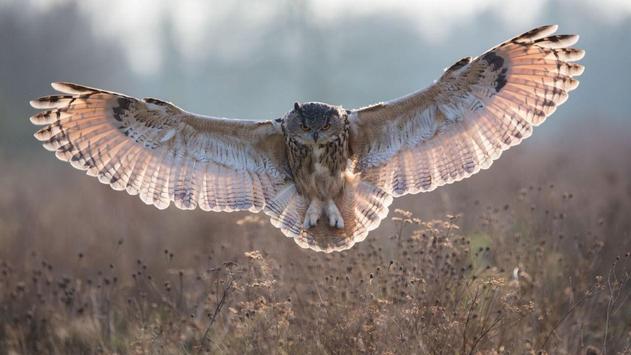 Owl Wallpapers apk screenshot