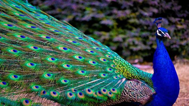 Peafowl Wallpapers poster