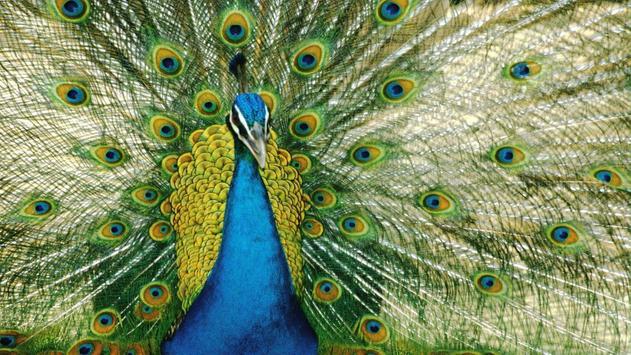 Peafowl Wallpapers apk screenshot