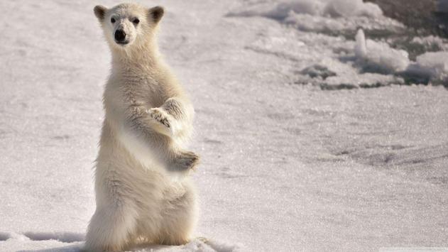Polar Bear Wallpapers poster