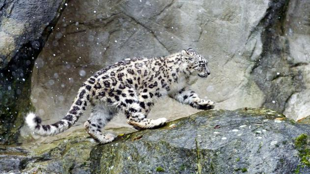 Snow Leopard Wallpapers poster