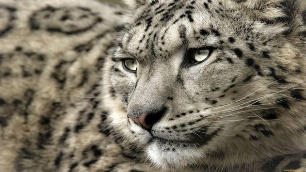 Snow Leopard Wallpapers apk screenshot