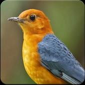 Suara Burung Anis Merah Juara: Masteran Anis Merah icon