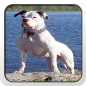 American Bulldog Theme - Nova icon