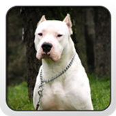 Dogo Argentino Theme icon