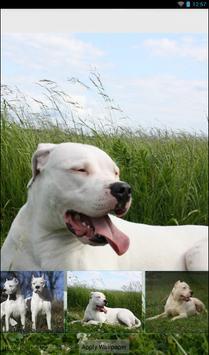 Dogo Argentino Theme apk screenshot