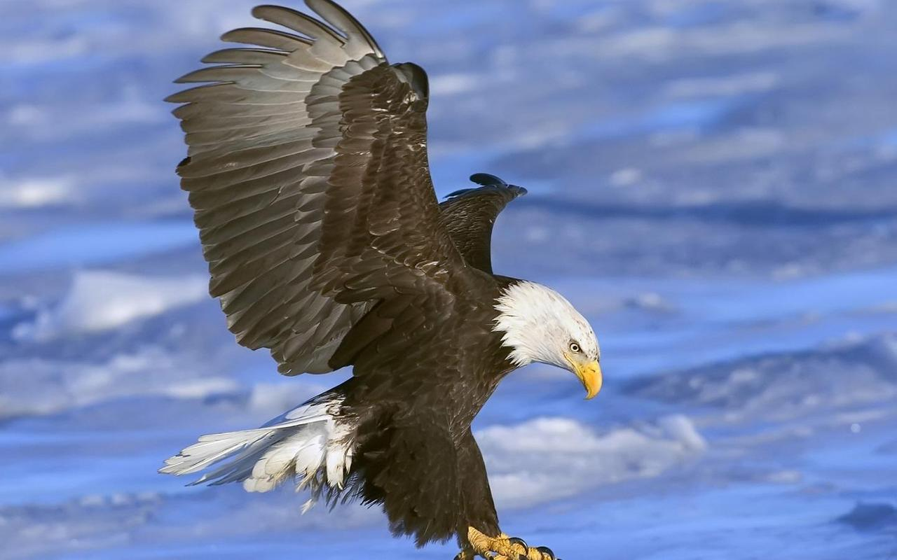 Eagle Wallpaper HD APK Download - Free Personalization APP for ...