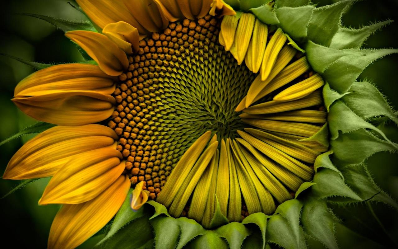 Sunflower Wallpaper APK Download - Free Personalization APP for ...