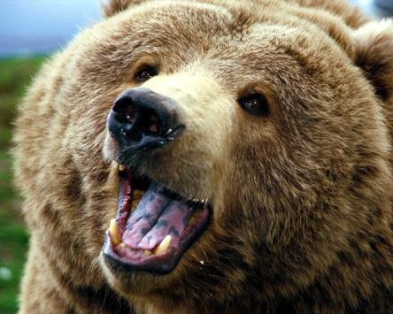 Amazing Bears Wallpapers apk screenshot