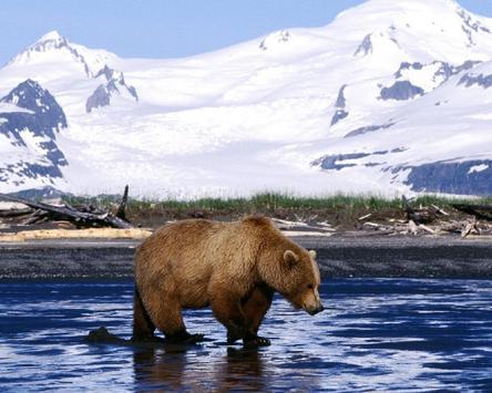Bear Brown HD Wallpapers apk screenshot