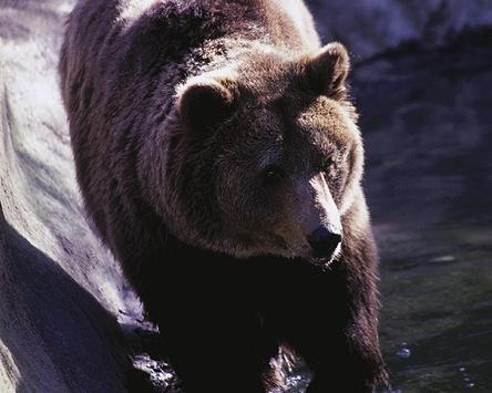 Bears Teddy Wallpapers Theme apk screenshot