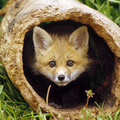 Best Fox Wallpapers icon