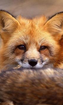 Best Fox Wallpapers poster