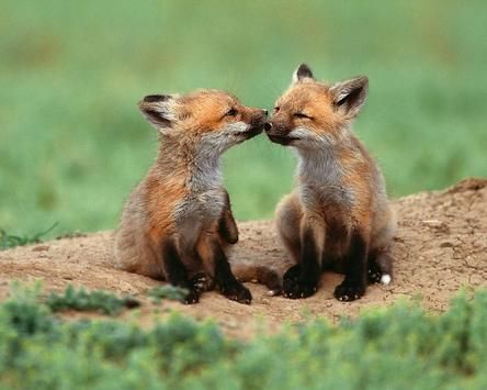Best Fox Wallpapers apk screenshot