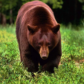 Brown Bear Themes icon