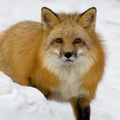 Fox Themes icon