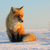 Fox Wallpapers icon