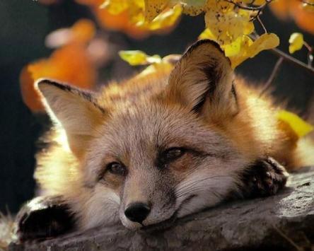 Fox Wallpapers apk screenshot