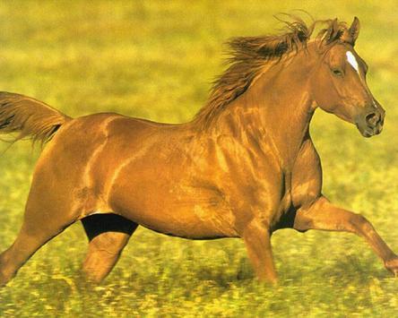 Horse Different Breeds Themes apk screenshot