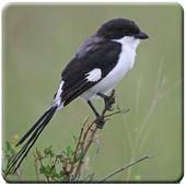 Burung Cendet Nembak icon