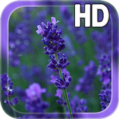 Lavender Flowers LWP icon