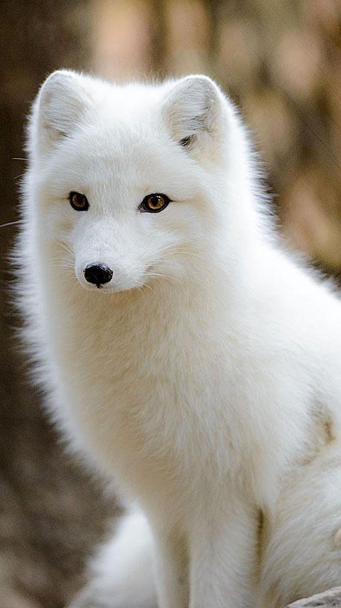 Arctic Fox Wallpaper For Android Apk Download