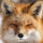 arctic fox wallpaper icon