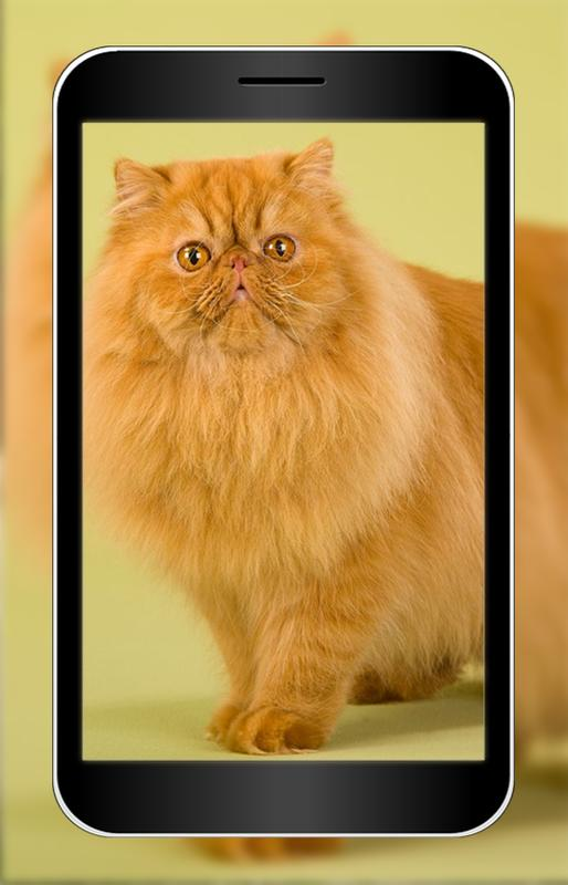 Persian Cats Wallpaper Hd For Android Apk Download