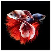 Siamese Fish Wallpaper icon