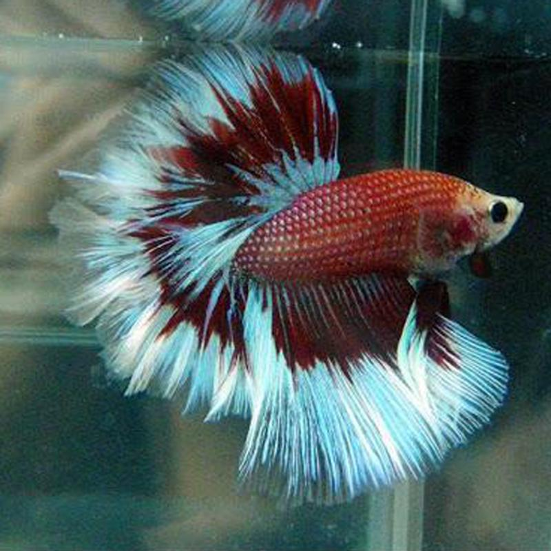 Rare Betta Fish for Android - APK Download