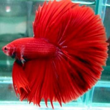 Rare Betta Fish apk screenshot