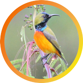 Flame-breasted sunbird icon
