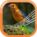 Orange-Headed Thrush Therapy