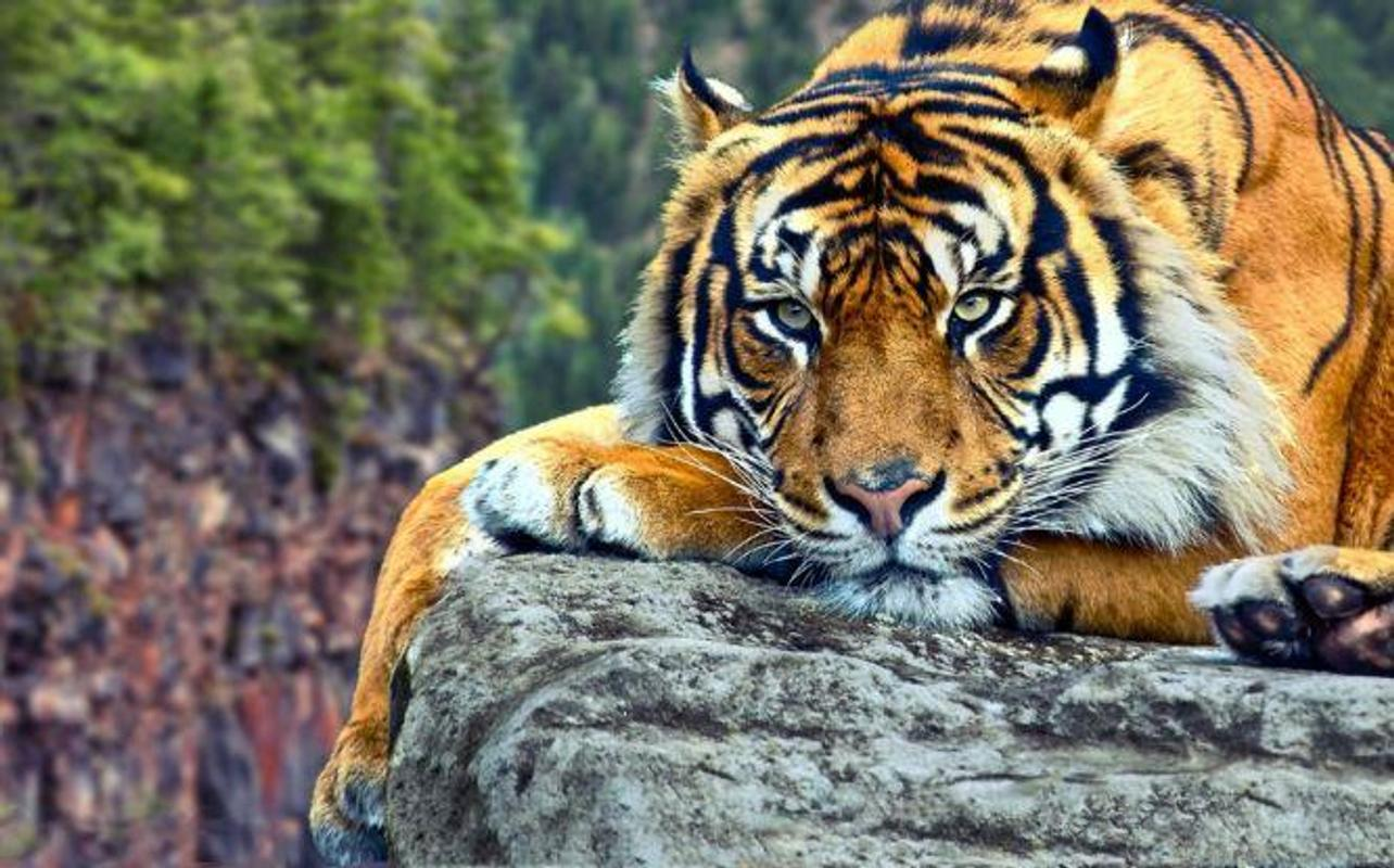 Tiger Hd Wallpapers For Android Apk Download