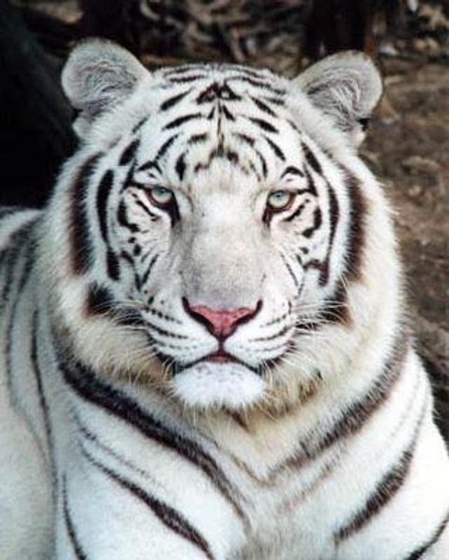 Tigers Wallpapers Hd Pour Android Telechargez L Apk