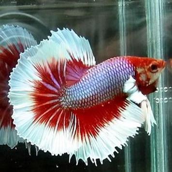 Ornamental Fish Culture screenshot 3