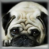 Pug Zipper Screen Lock icon