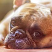 bulldog wallpaper icon