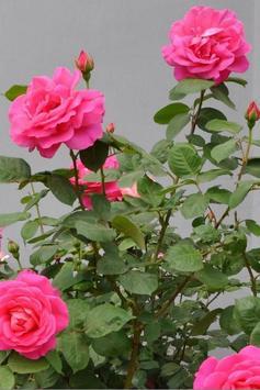 Rose Flower Wallpaper HD Best and Most Beautiful screenshot 5