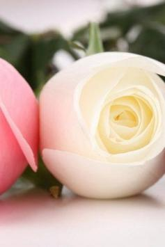 Rose Flower Wallpaper HD Best and Most Beautiful screenshot 1