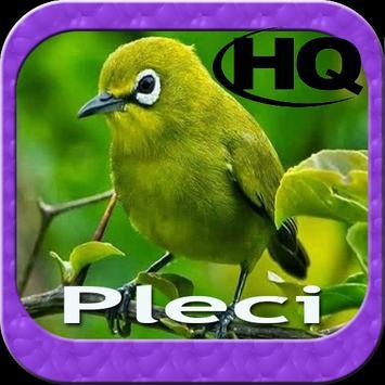 Master Kicau Pleci HD poster