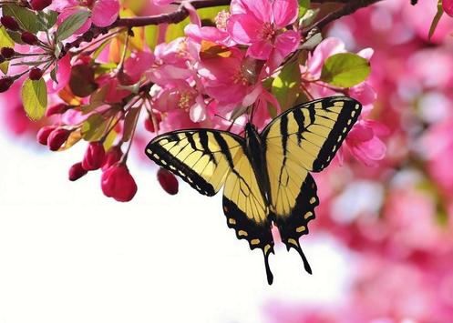 Butterfly Wallpapers for Chat apk screenshot