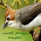 Kicau Cucak Jenggot Master icon
